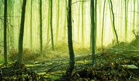 Spring forest in the morning fog, through which the sun rays penetrate. Yellow-green toning_. Spring forest in the morning fog, through which the sun rays stock photo