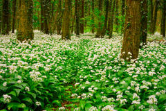 Spring forest with multiple white wild flowers Stock Photography