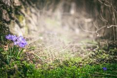 Spring forest nature with crocuses flowers, springtime outdoor nature Royalty Free Stock Images
