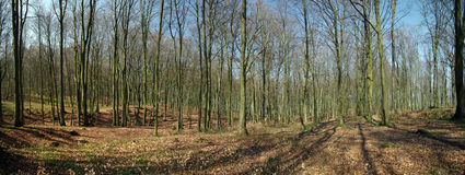 Spring Forest Panorama Royalty Free Stock Photography