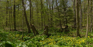 Spring forest Panorama, Canada. A beautiful landscape of threatened Carolinian forest and marsh marigolds in springtime, Southern Ontario Royalty Free Stock Photos