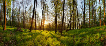Spring forest panorama with sun Stock Photo