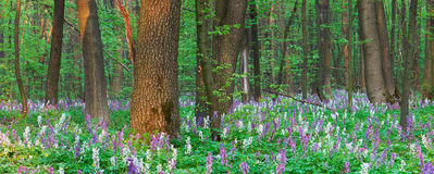 Spring forest with primrose Royalty Free Stock Photography