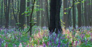 Spring forest with primrose Royalty Free Stock Image