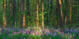 Spring forest with primrose Royalty Free Stock Photos