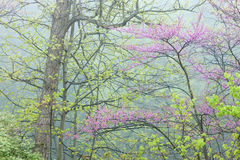Spring Forest with Redbud Stock Images
