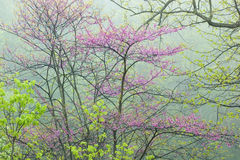 Spring Forest with Redbud. Landscape of a spring forest in fog with redbud in bloom, Michigan, USA Stock Photography