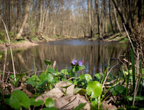Spring forest and river in Litovelske pomoravi, Czech Republic Royalty Free Stock Photography