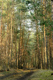 Spring forest. Russian spring forest. coniferous trees Stock Image