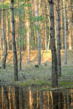 Spring forest. Russian spring forest. coniferous trees Stock Photo