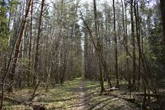Spring forest rustles young foliage walk on it a real pleasure. Spring is a delightful time of the year royalty free stock photos