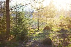 Spring forest scenery. Sun rays and spruces and pines. Spring forest scenery. Fresh grass, little spruces and sun shine. Sunny day in the woods. Russian stock photos
