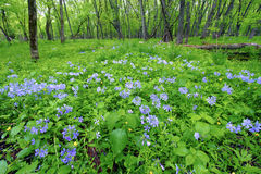 Spring Forest Scenery Illinois Royalty Free Stock Images