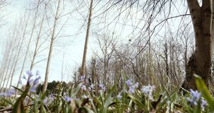 Spring forest with Scilla bifolia multiple flowers. Low angle view toward trees environment protection 4k video forest stock video footage