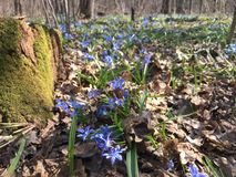 Spring forest. Scilla flowers in spring forest Royalty Free Stock Photo