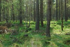 Spring forest in scotland. Forest in scotland in spring with grass floor Royalty Free Stock Photography