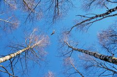 Spring forest and the sky. View of the sky between the trees in spring forest royalty free stock photos