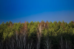 Spring forest and sky. With fir trees and birches Royalty Free Stock Images