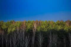 Spring forest and sky. With fir trees and birches Royalty Free Stock Photos