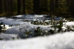 Cowberry shrubs and snow. Side view. Royalty Free Stock Image
