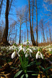Spring Forest With Snowdrops Stock Photo