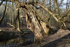 Spring in a forest with a stream and old willow Royalty Free Stock Photo