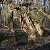 Spring in a forest with a stream and old willow Royalty Free Stock Photography