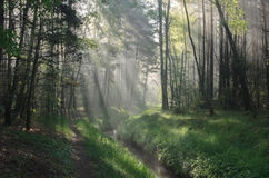 Spring forest with sunbeams Royalty Free Stock Images