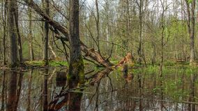 spring forest swamp royalty free stock images