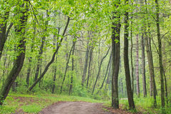 Spring Forest with Trail. Trail through spring woodland, Kellogg Forest, Michigan, USA Stock Photo