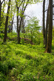 Spring forest Royalty Free Stock Image