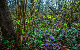 Spring forest with violets Stock Photos