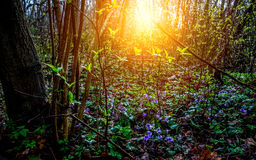 Spring forest with violets Royalty Free Stock Photos