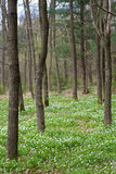 Spring forest with  white anemone flowers Royalty Free Stock Photography