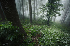 Spring in the forest with white flowers and fog royalty free stock photo