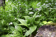 The spring forest with wild garlic Royalty Free Stock Photography