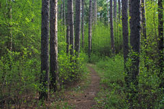 Spring Forest in Wisconsin Royalty Free Stock Images