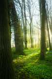 Spring forest with wood anemone flowers and fresh green grass on stock image