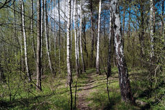 Spring forest. With young birch trees and green foliage Royalty Free Stock Images