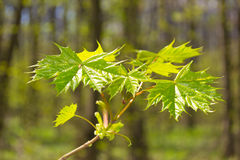 Spring Forest. Young leaves of maple in the spring forest royalty free stock photos
