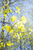Spring Forest. Young leaves of maple in the spring forest Stock Photos