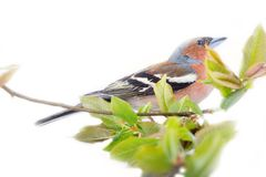 Spring in form of bright plumage of birds (male Finch). And young foliage (willow), on white background royalty free stock photos