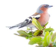 Spring in form of bright plumage of birds (male Finch). And young foliage (willow), on white background stock image