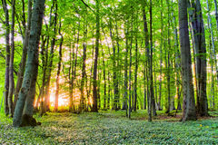Spring Forrest Sunset Stock Image
