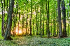 Spring Forrest Sunset Stock Image
