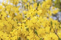 Spring Forsythia Royalty Free Stock Image