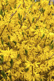 Spring Forsythia Royalty Free Stock Images