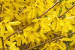 Spring Forsythia Royalty Free Stock Photo