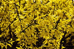 Spring forsythia bush Stock Photo