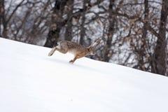 Spring för europeisk hare i snön. Arkivbild